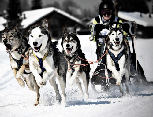 Meat-Free Diets for Sprint-Racing Sled Dogs