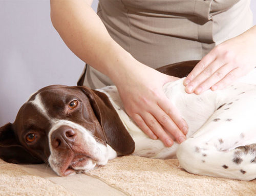 The Benefits of Chiropractic Care for Pets
